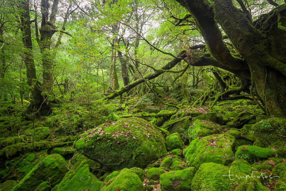 Cedar forests on Yakushima Island in Kagoshima, Japan