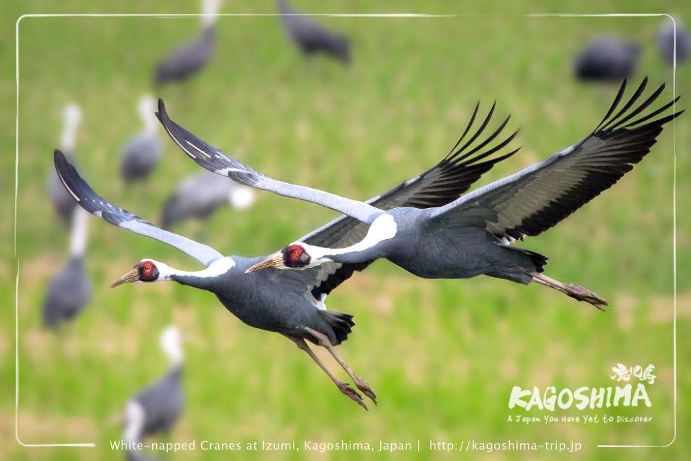 Wild cranes in flight at Izumi, Kagoshima, Japan